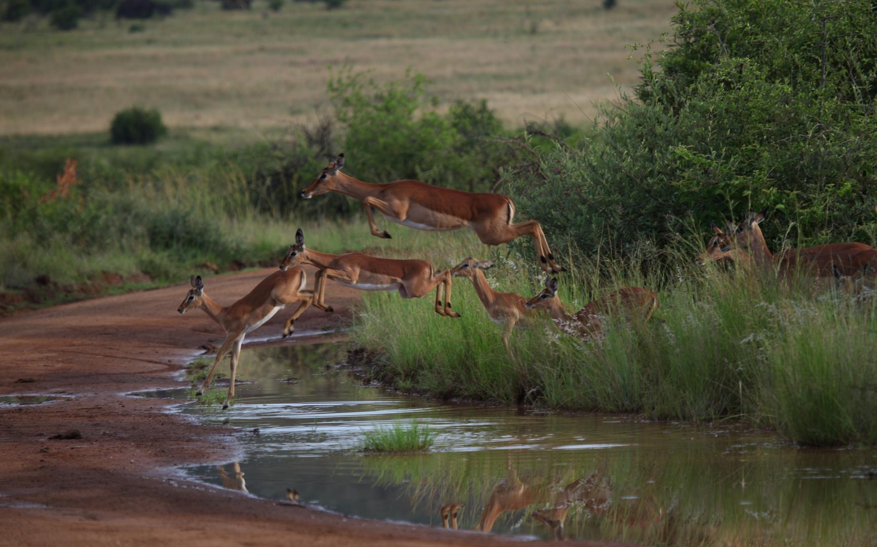 kleine Impalagruppe beim Absprung