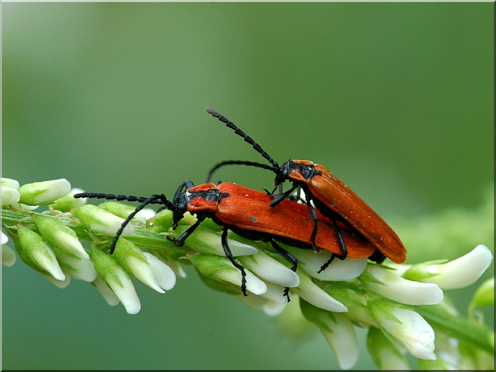 kleine k fer foto bild tiere wildlife insekten bilder auf fotocommunity. Black Bedroom Furniture Sets. Home Design Ideas