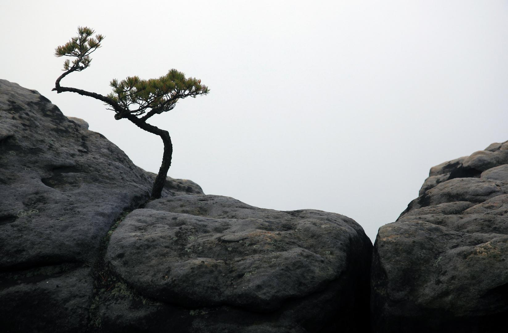 Kleine Kiefer auf kargen Felsen