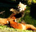 Kleine Kleine Pandas