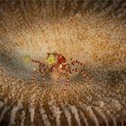 Kleine Krabbe - Großer Auftritt