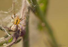 kleine Kugel Spinne