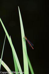 Kleine Libelle
