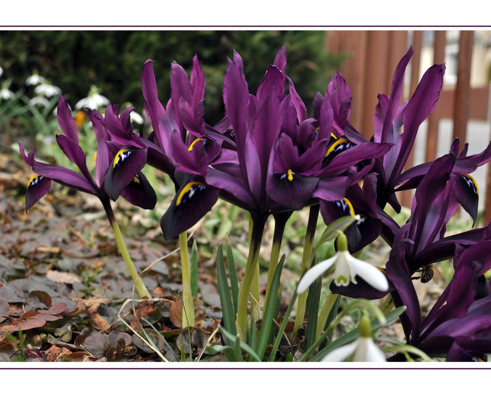 Kleine Lila Iris Foto Bild Pflanzen Pilze Flechten Bluten