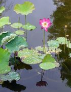Kleine Lotusblüte