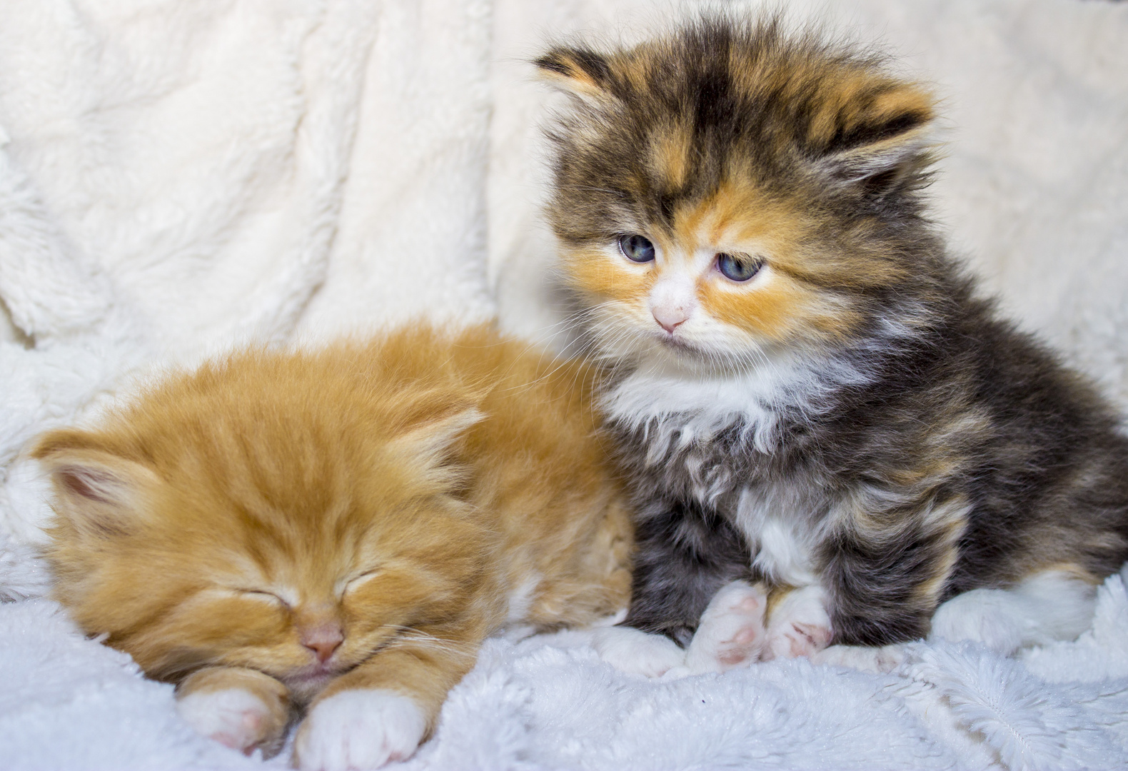Kleine Maine Coon Katzen Babys Foto Bild Tiere Tierkinder Baby Bilder Auf Fotocommunity