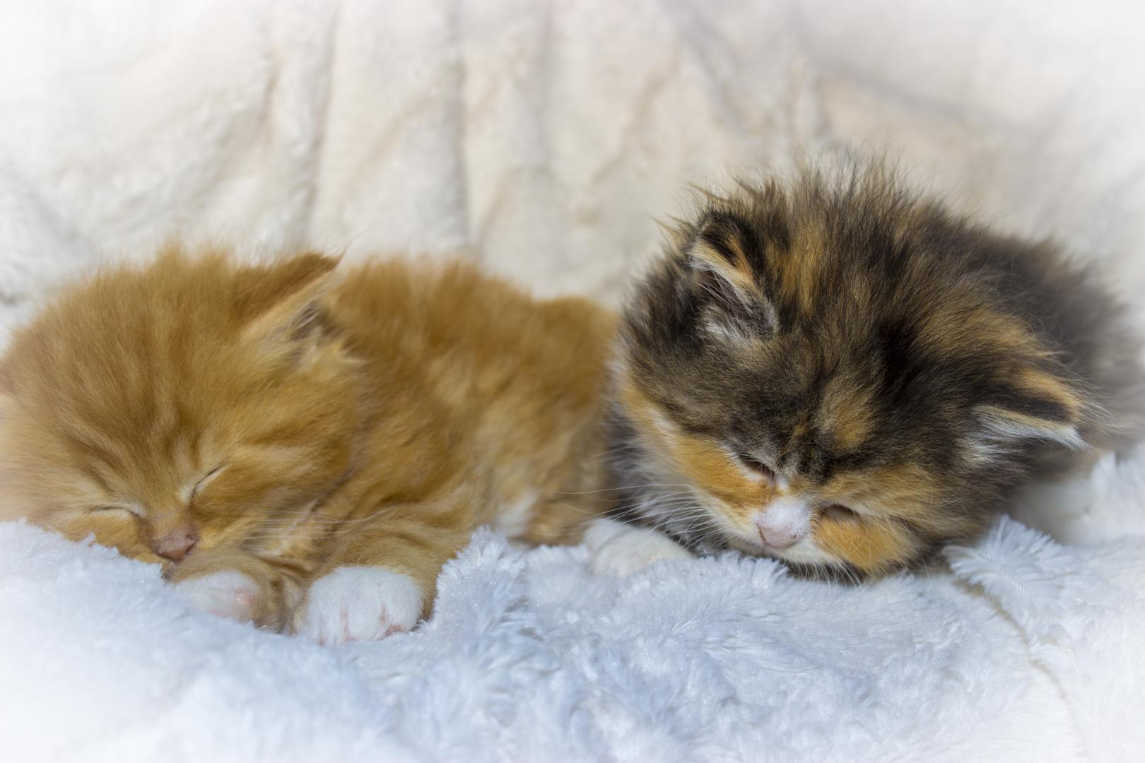 kleine maine coon katzen babys foto bild tiere. Black Bedroom Furniture Sets. Home Design Ideas