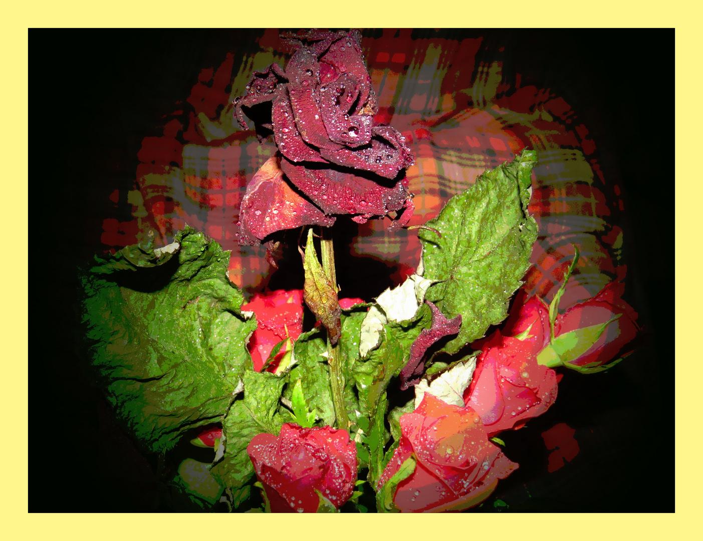 kleine Moosrosen - geben alter Rose noch ein wenig Kraft