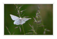 kleine Naturwelt (Weißling)