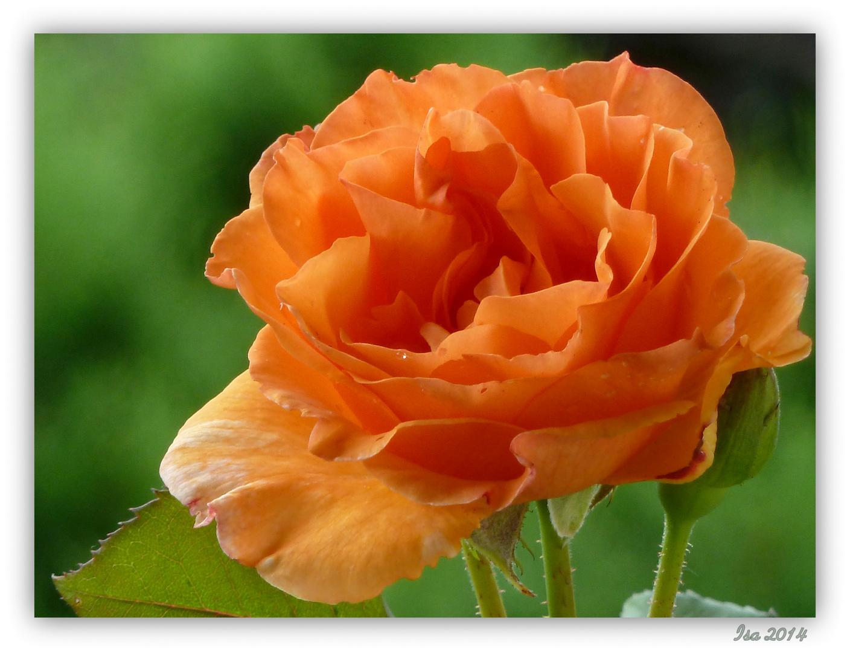 kleine orange Rose