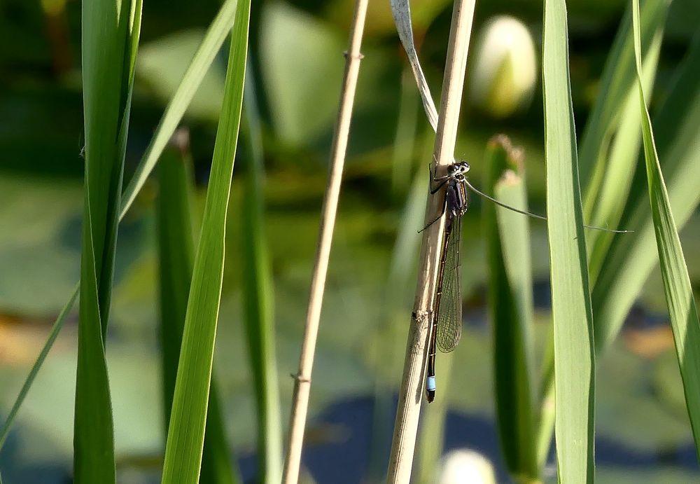 Kleine Pechlibelle (Ischnura pumilio)...