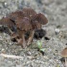 Kleine Pilzgruppe im Sand vom Bergbachbett! - Petit groupe de champignons dans le sable...