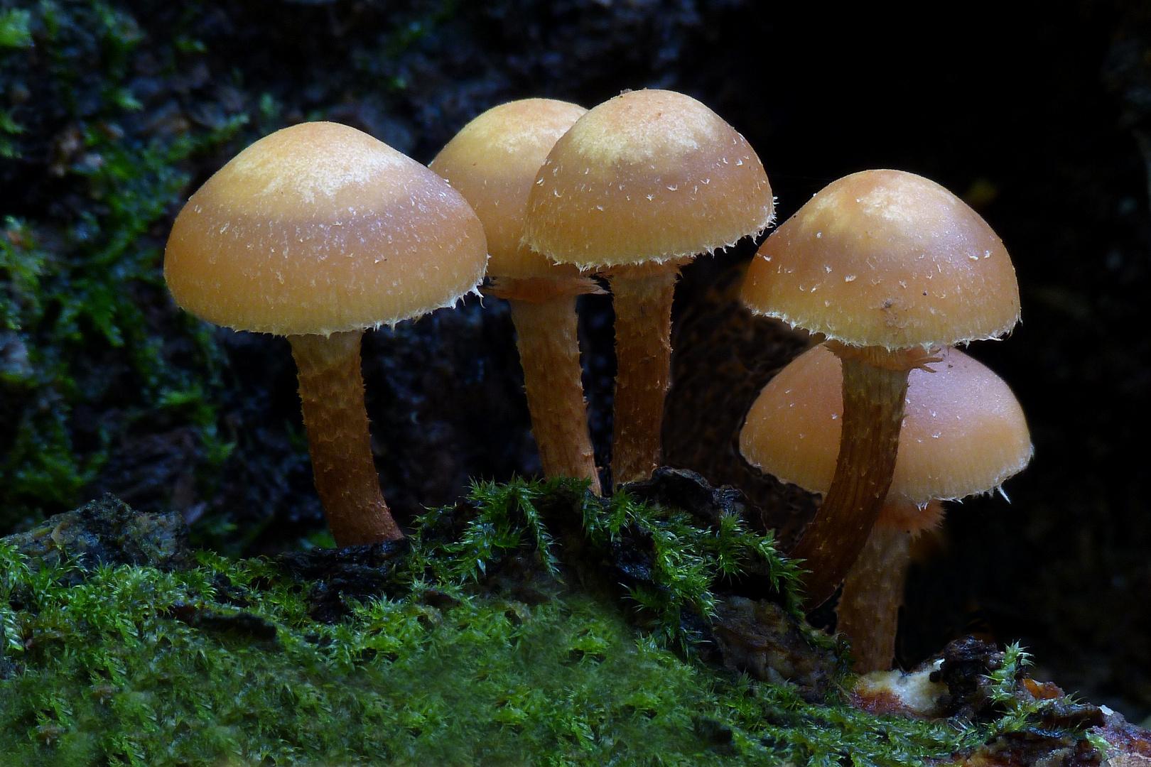 Kleine Pilzkolonie (Stockschwämmchen ?)