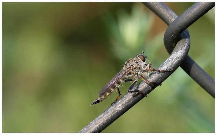 kleine Raubfliege