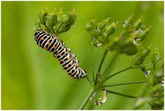 kleine Raupe des Schwalbenschwanz-Schmetterling