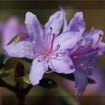 Kleine Rhododendronblüte..