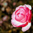 Kleine rosafarbene Schönheit