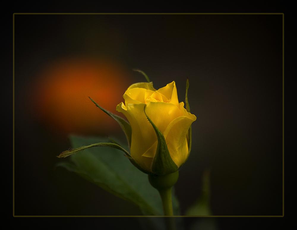 Kleine Rose