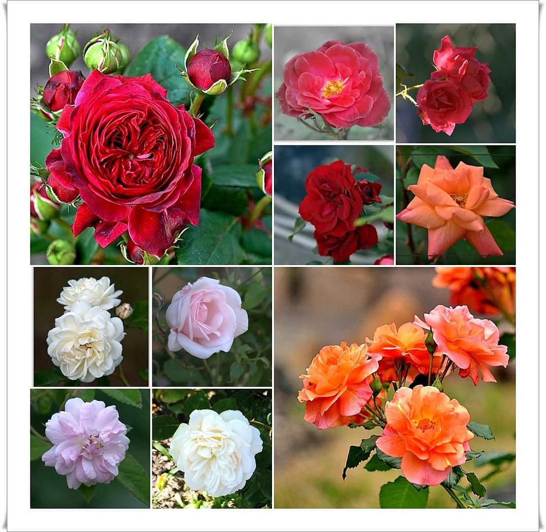 kleine rosencollage foto bild pflanzen pilze flechten bl ten kleinpflanzen rosen. Black Bedroom Furniture Sets. Home Design Ideas
