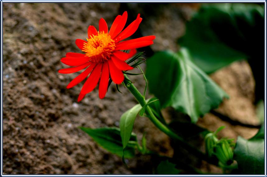 kleine rote Blüte