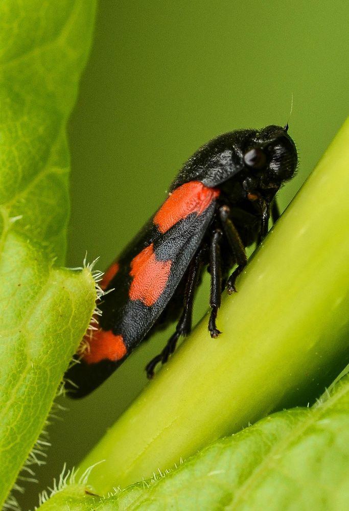 Kleine Rote Insekt