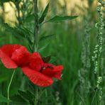 Kleine, rote Schönheit