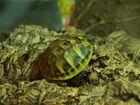 kleine Schildkröte