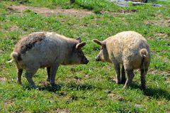 kleine Schweine(-reien) I.