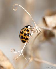 kleine Serie von einem Marienkäfer
