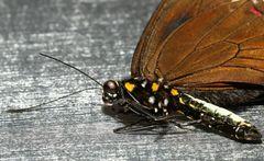 Kleine Serie von Schmetterlings - Portraits