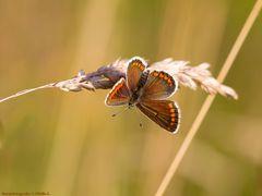 Kleine Sonnenröschen-Bläuling (Aricia agestis)