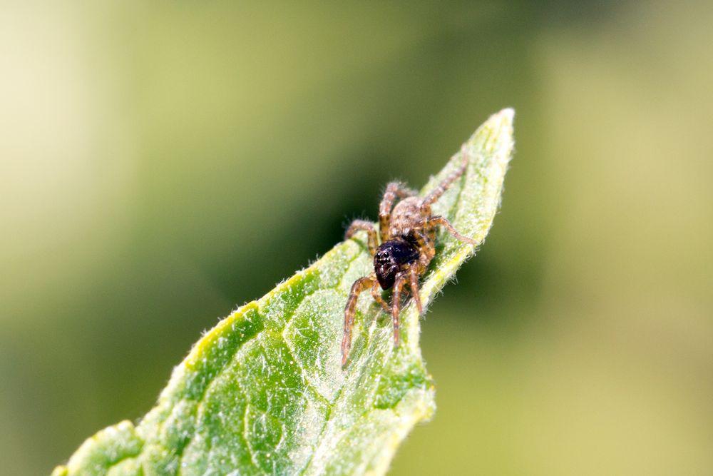 Kleine Spinne auf Sommerflieder