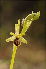 Kleine Spinnenragwurz (Ophrys araneola)