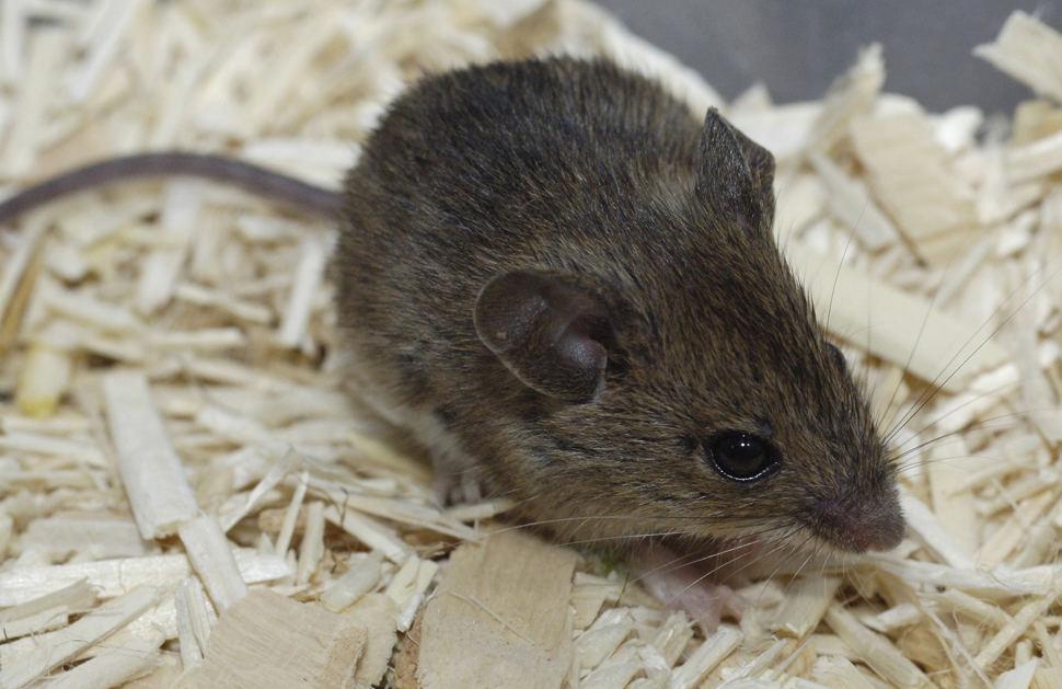 Süße Kleine Maus