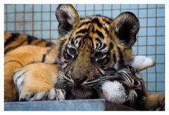 kleine Tiger