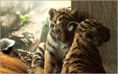 ... kleine Tiger auf sanften Pfoten ...