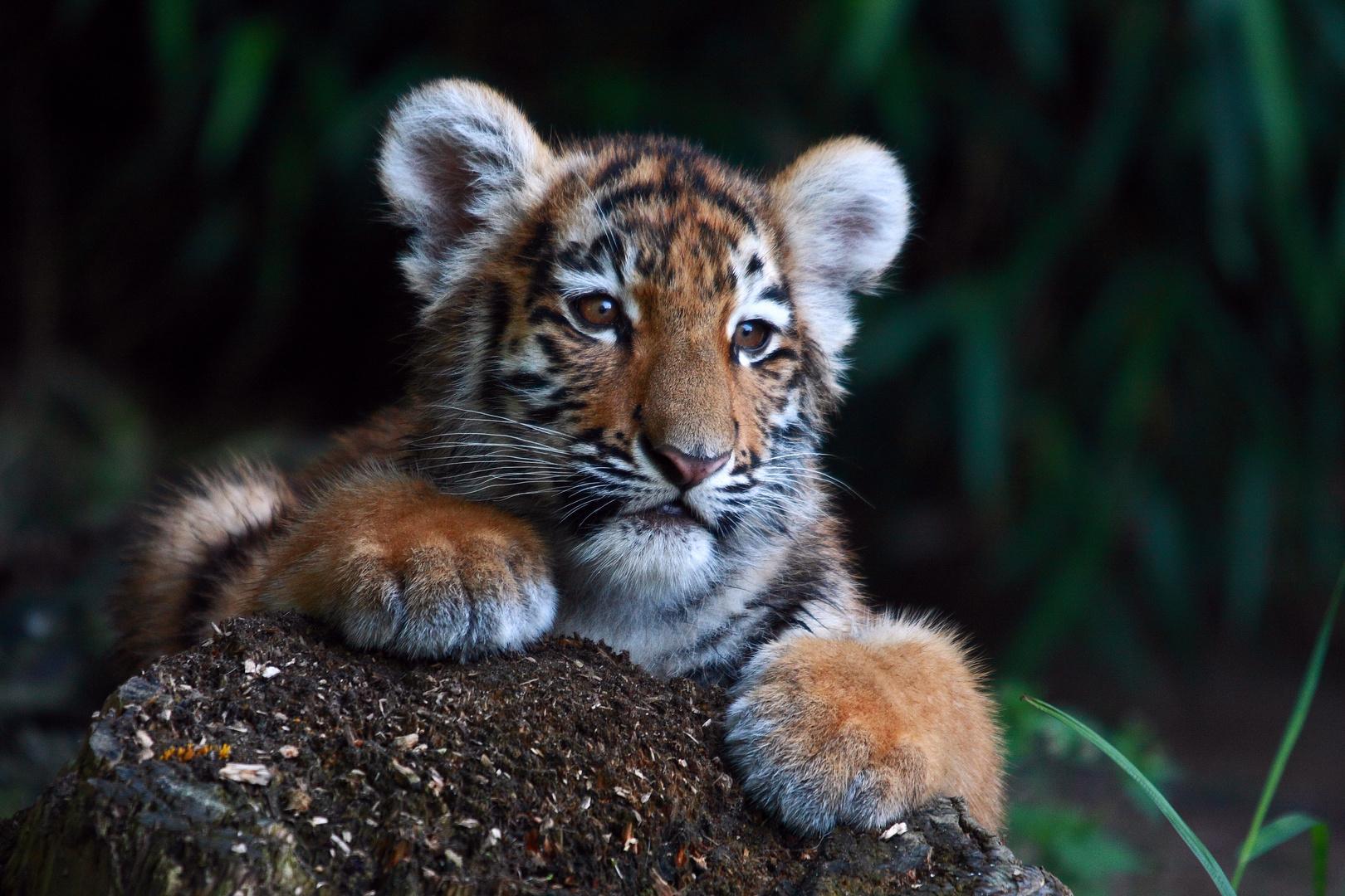 Kleine Tiger Lady2 Foto Bild Tiere Zoo Wildpark Falknerei