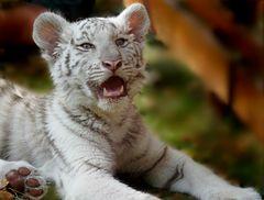 Kleine Tigerin