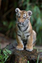 kleine tigerin ...