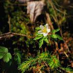 Kleine Waldschönheit