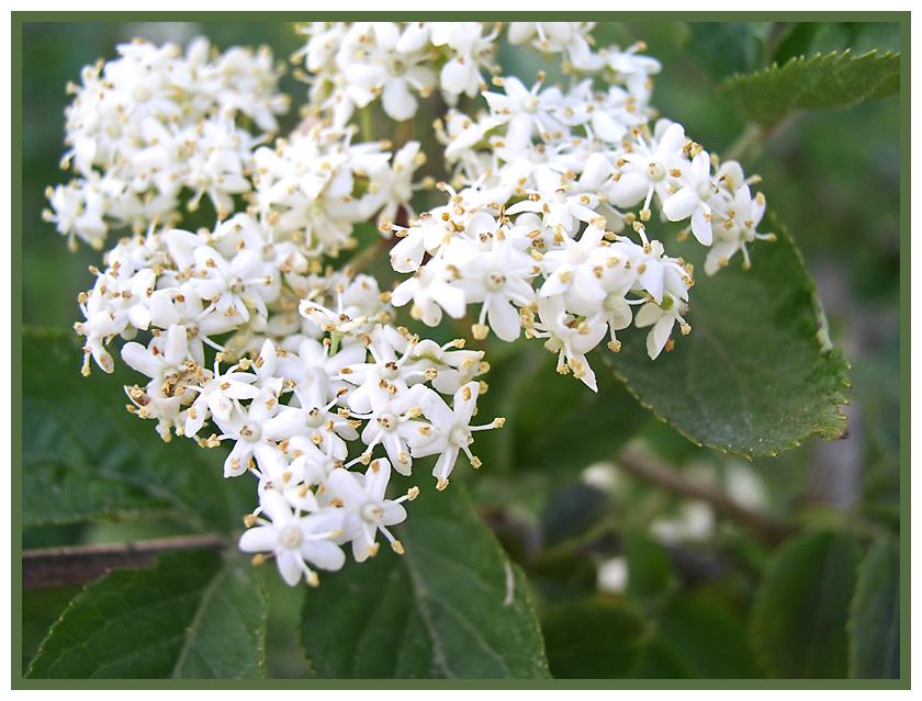 kleine weiße Blüten * Foto & Bild | *user bis 12. jahre, meine ...