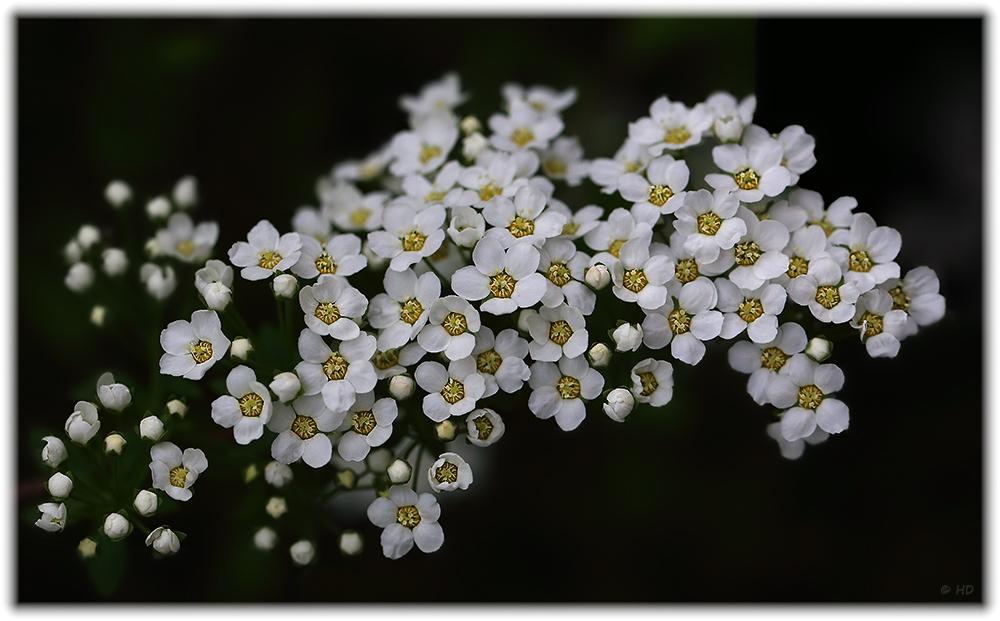 kleine weiße Blüten Foto & Bild | jahreszeiten, frühling, natur ...