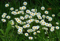 kleine weiße sternchen im gras...