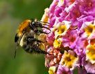 Kleine Wildbiene ganz groß auf einem Wandelröschen