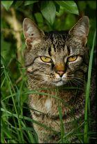 Kleine Wildkatze! :-)
