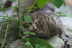 ~ kleine Wildkatze ~