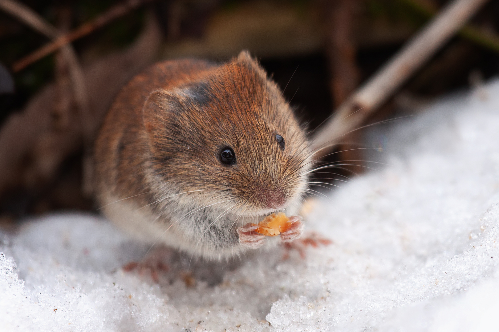 Kleine Winter-Maus