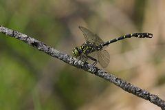 Kleine Zangenlibelle