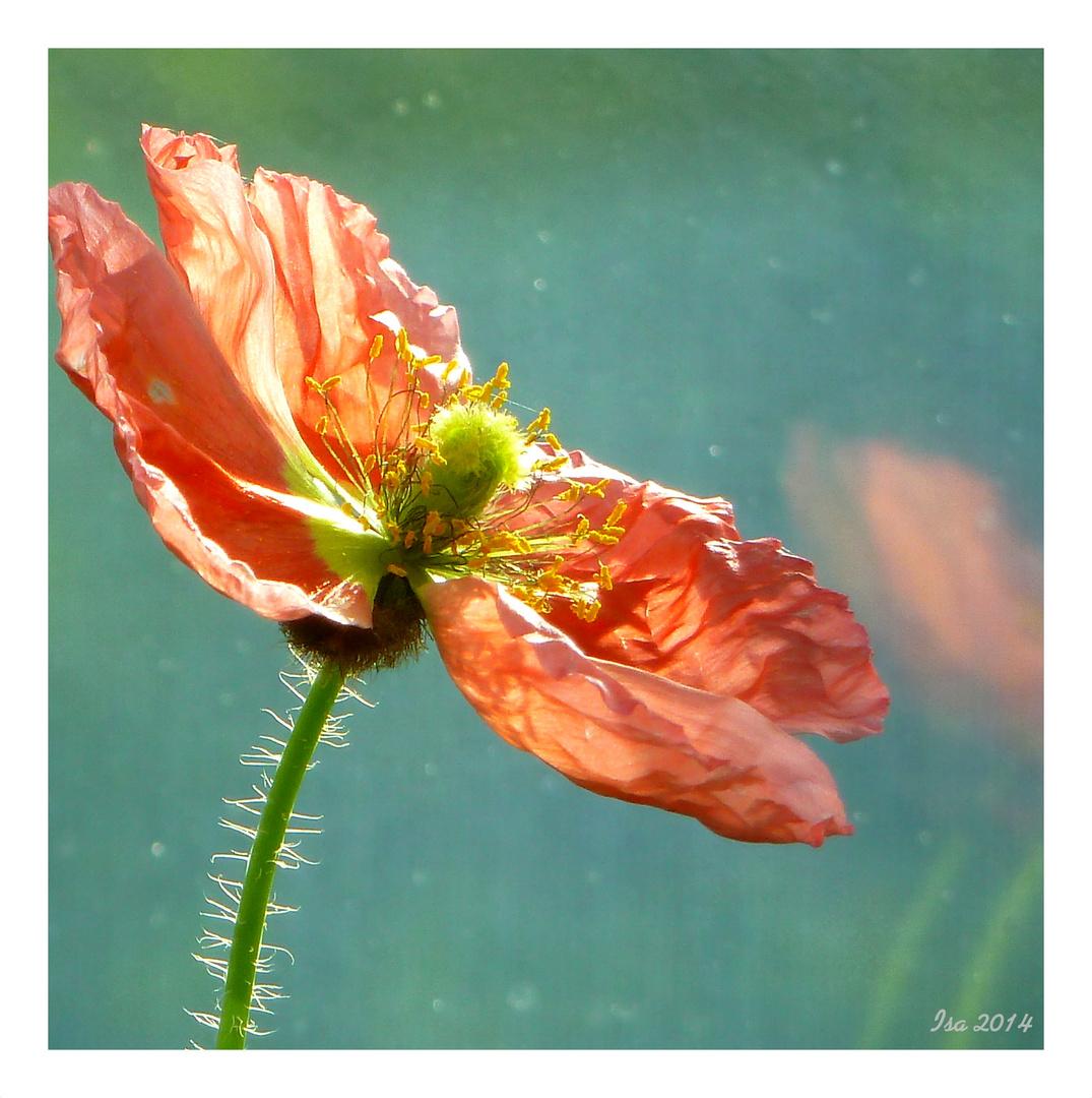"""kleine """"zerknitterte"""" Mohnblumenblüte I"""