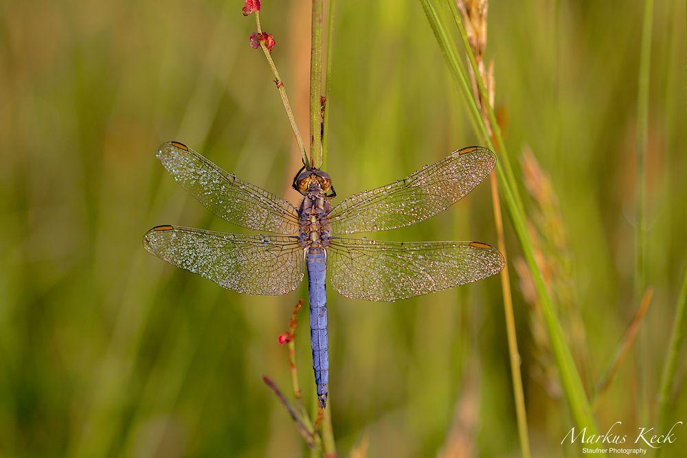 Kleinen Blaupfeil (Orthetrum coerulescens)